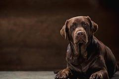 El retrato de un perro negro de Labrador tomado contra un contexto oscuro Foto de archivo libre de regalías