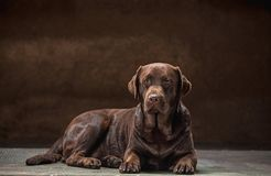 El retrato de un perro negro de Labrador tomado contra un contexto oscuro Imagenes de archivo