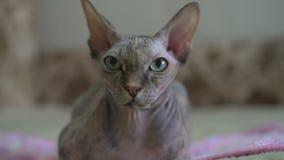 El retrato de una esfinge calva del gato del pura sangre hermoso con verde y amarillo observa en casa metrajes