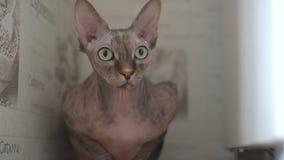 El retrato de una esfinge calva del gato del pura sangre hermoso con verde y amarillo observa en casa almacen de metraje de vídeo