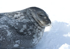 El retrato de Weddell sella dormir en el hielo. Foto de archivo
