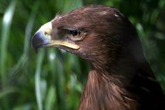El retrato del águila de oro Fotografía de archivo libre de regalías