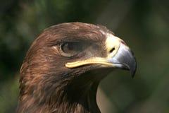 El retrato del águila de oro Imagenes de archivo