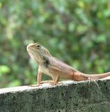 El retrato del camaleón Fotografía de archivo libre de regalías