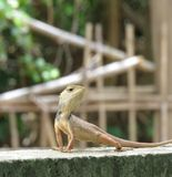 El retrato del camaleón Foto de archivo