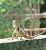 El retrato del camaleón Fotografía de archivo