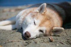 El retrato del galgo ruso ruso de la raza magnífica del perro que se coloca en la hierba verde y el ranúnculo amarillo colocan en Foto de archivo