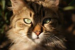 El retrato del gato con los ojos verdes se cierra para arriba Cara del minino Fotos de archivo libres de regalías