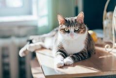 El retrato del gato de gato atigrado hermoso en sol irradia Imagen de archivo