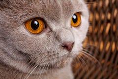 El retrato del gato gris con amarillo observa el doblez del escocés Fotografía de archivo libre de regalías