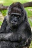 El retrato del gorila Foto de archivo libre de regalías