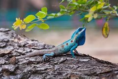 El retrato del lagarto salvaje fotos de archivo