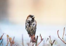 El retrato del pequeño gorrión mojado se sienta en Bush espinoso y se seca fotos de archivo