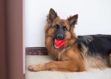 El retrato del perro alemán del shepperd se acuesta y muerde el juguete rojo Imagen de archivo