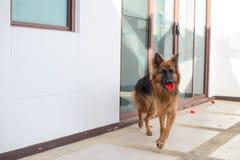 El retrato del perro alemán del shepperd se acuesta y muerde el juguete rojo Fotos de archivo