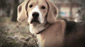 El retrato del perro del beagle del perro rastrea las aves almacen de metraje de vídeo