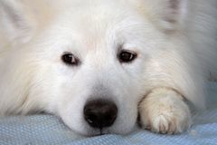 El retrato del perro del samoyedo, su cabeza se pone en las patas Imagen de archivo