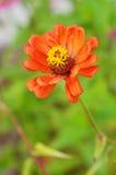 El retrato del primer de la flor roja en las hojas verdes como fondo Imágenes de archivo libres de regalías