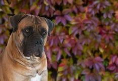 El retrato del primer de una raza rara Boerboel surafricano del perro en el fondo de la uva del otoño se va Foto de archivo