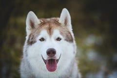 El retrato del primer del husky siberiano hermoso y feliz de la raza del perro que se sienta en evegreen los matorrales de bambú  foto de archivo libre de regalías