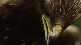 El retrato macro del primer épico de un pájaro despredador que centellaba sus ojos y ha abierto el pico metrajes