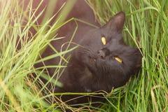 El retrato negro lindo hermoso del gato de Bombay con amarillo observa en hierba verde Fotografía de archivo libre de regalías