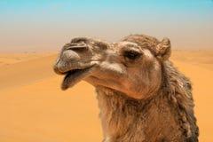 El retrato principal del primer del camello en dunas de arena ventosas abandona Foto de archivo libre de regalías