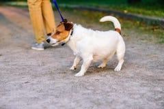 El revestimiento del perro detrás rechaza caminar y arrastra el correo de la manera opuesta imagenes de archivo