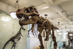 El rex esquelético de la armadura t del dinosaurio deshuesa los dientes enormes del carnívoro fotografía de archivo