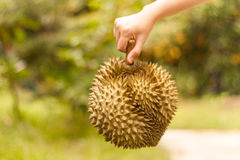 El rey de frutas, Durian fresco sea control en la mano humana con el boke Imagen de archivo libre de regalías