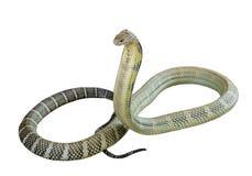 El rey de la cobra Imagen de archivo