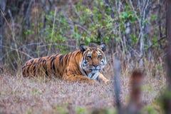 El rey de la selva Fotos de archivo libres de regalías