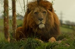 El rey de la selva Foto de archivo