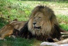 El rey del león Imagen de archivo