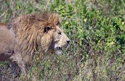 El rey del león Foto de archivo