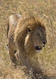El rey del león Fotos de archivo