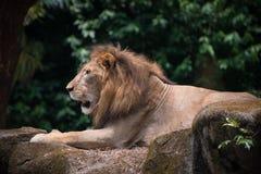 El rey del león es relajante en las piedras al aire libre Fotos de archivo libres de regalías