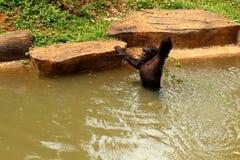 El rey del mono está intentando pegar el bocado Fotos de archivo