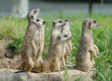 El rezo de las marmotas Fotografía de archivo libre de regalías
