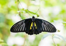 El rhadamantus de los troides de la mariposa se sienta en una planta Foto de archivo
