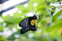 El rhadamantus de los troides de la mariposa se sienta en una planta Imágenes de archivo libres de regalías