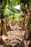 El Rincon, land of bananas. Tenerife. Stock Images