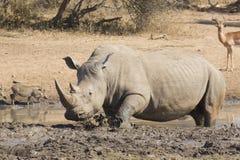 El rinoceronte blanco masculino en fango wallow, Suráfrica Fotos de archivo libres de regalías
