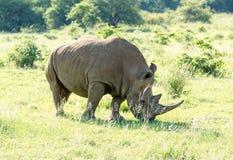 El rinoceronte blanco pasta en un parque protegido fotos de archivo libres de regalías