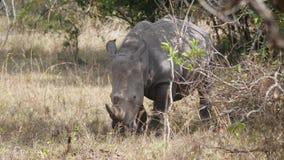 El rinoceronte blanco salvaje defeca cubriendo sus ojos en arbustos de la sabana africana almacen de metraje de vídeo