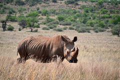 El rinoceronte blanco vive en África adentro de largo y sabanas de la cortocircuito-hierba Fotos de archivo libres de regalías