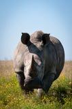 El rinoceronte está cargando Imagenes de archivo