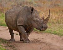 El rinoceronte ha estado en una lucha Imagen de archivo libre de regalías