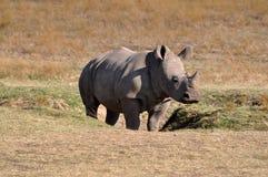 El rinoceronte joven en prados de África está llegando a ser más raro Imagen de archivo libre de regalías