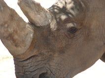 El rinoceronte se cierra para arriba Foto de archivo